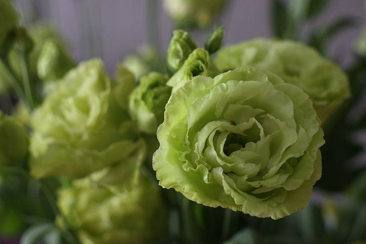 Eustoma wielkokwiatowa uprawa w ogrodzie i w domu